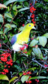 Green dove 20041231.png